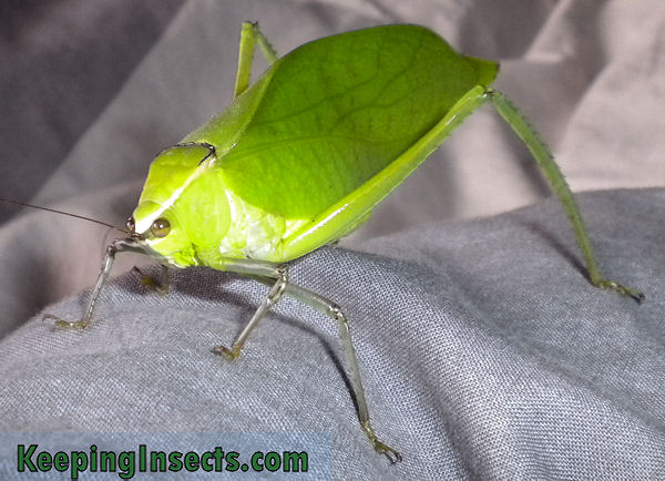 Giant Katydid - Stilpnochlora couloniana | Keeping Insects