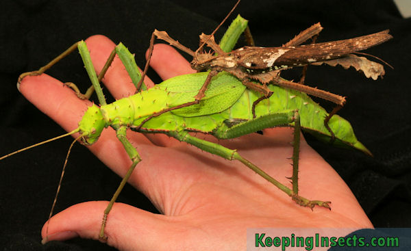 Breeding Stick Insects | Keeping Insects