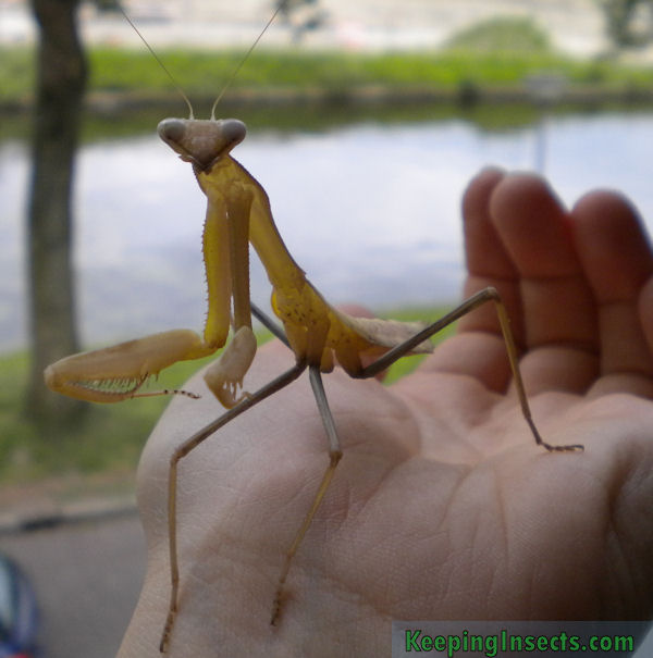 Asian mantis care