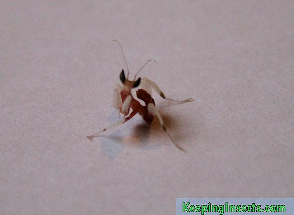 white praying mantis baby