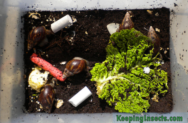 Giant African Snail Achatina Fulica Keeping Insects