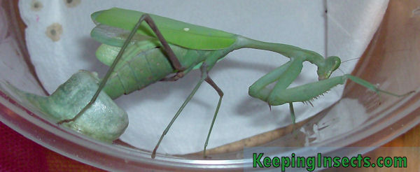 Caring For Mantis Ootheca And Eggs Keeping Insects