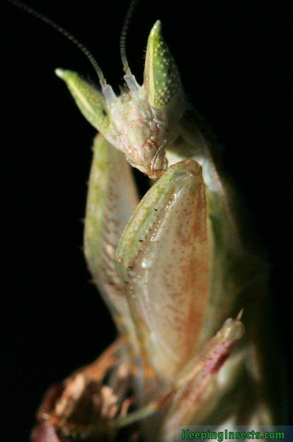 Gambian Spotted Eye Flower Mantis Pseudoharpax Virescens