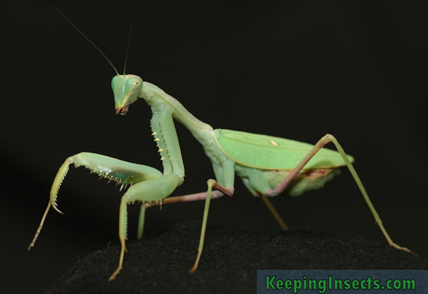 General Description Of A Praying Mantis Keeping Insects