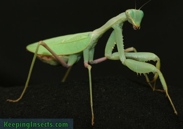 Caresheet of Sphodromantis baccettii | Keeping Insects