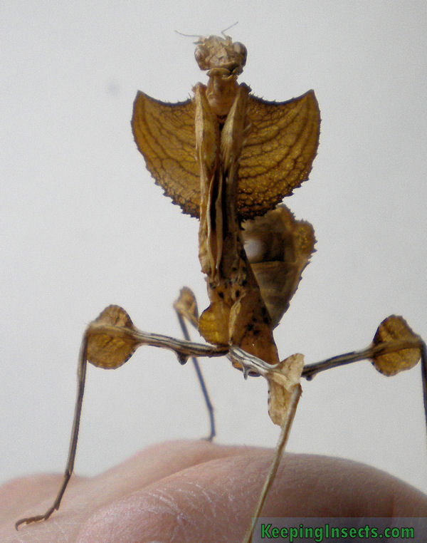 Mantis species – Keeping Insects