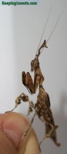 phyllocraniaparadoxa-male