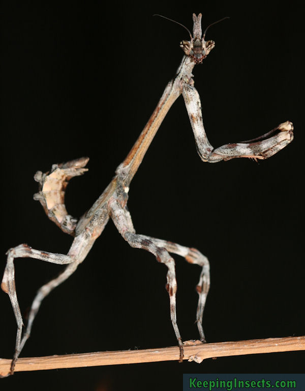 Praying mantis species | Keeping Insects