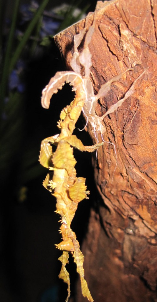 a molting stick insect