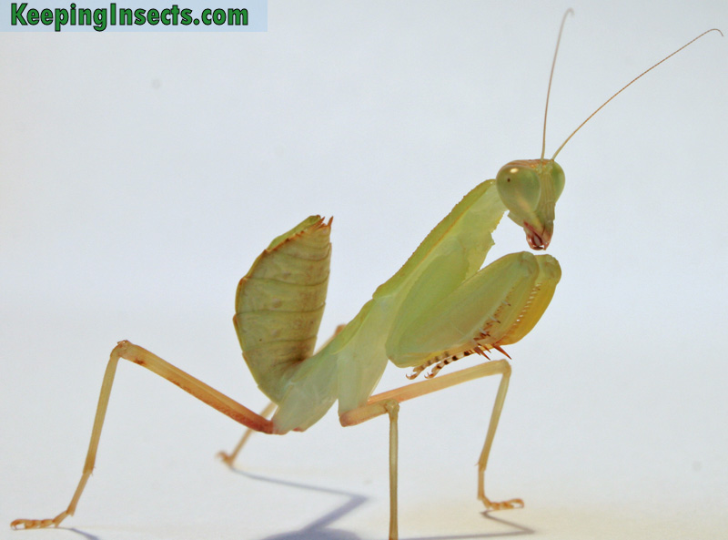 African Mantis nymph in green variety