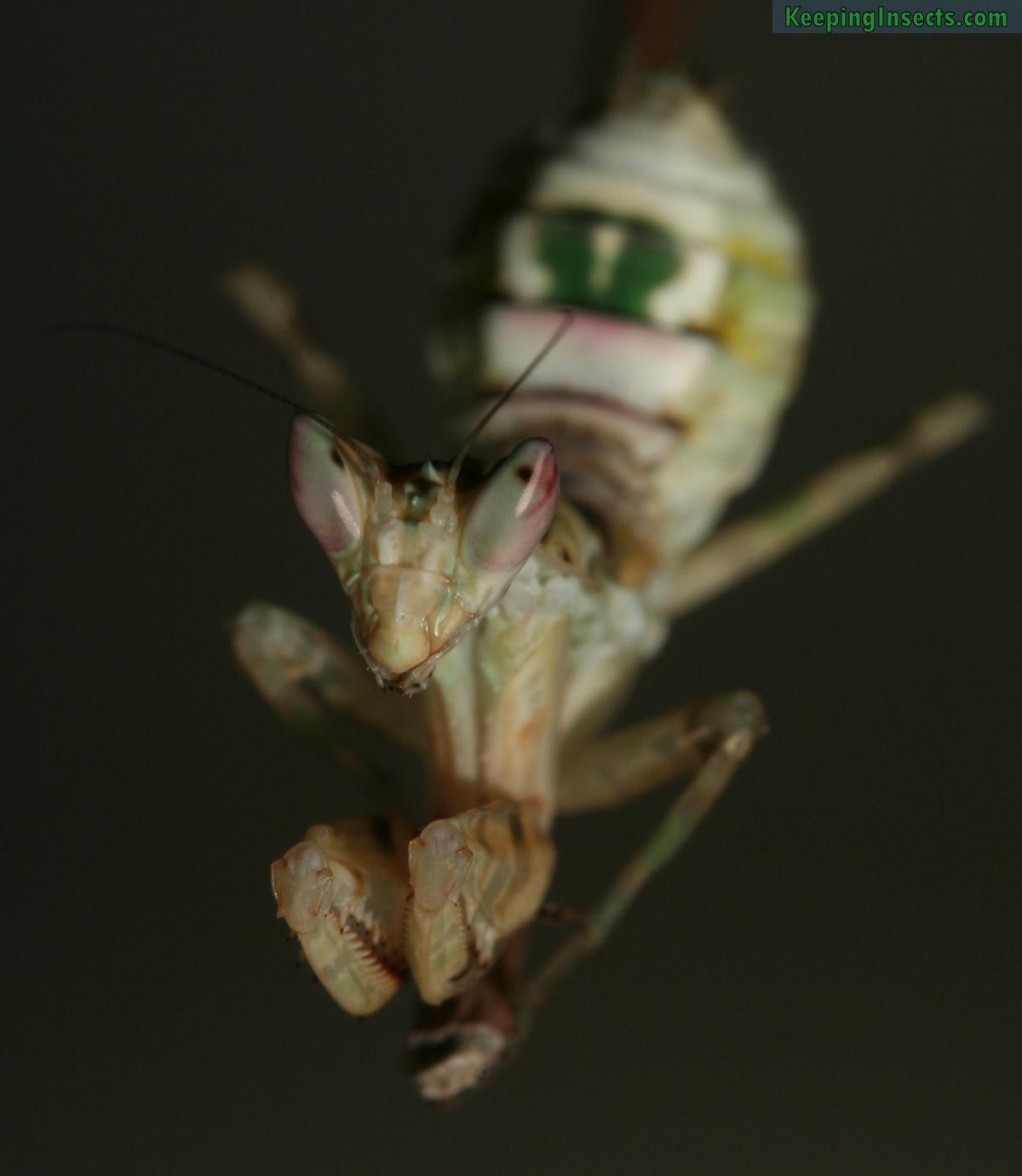 indian flower mantis nymph