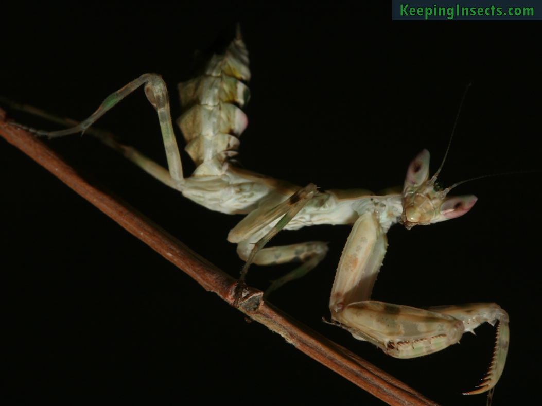 Indian flower mantis creobroter pictipennis keeping insects indian flower mantis nymph dhlflorist Image collections