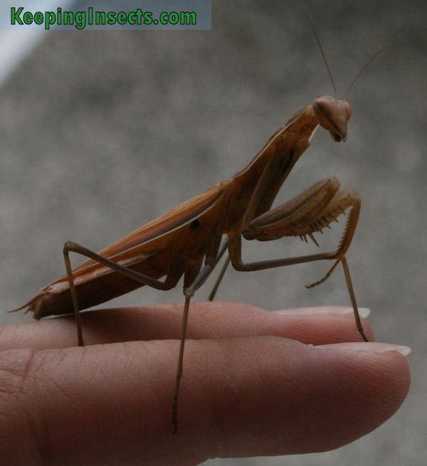 Brown color morph, adult female European Mantis
