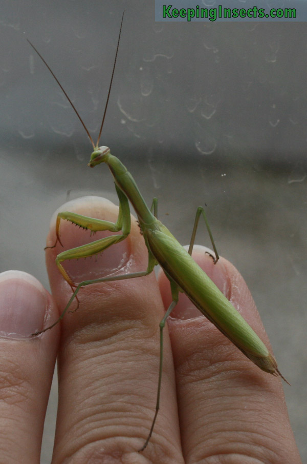 European Mantis - Mantis religiosa | Keeping Insects