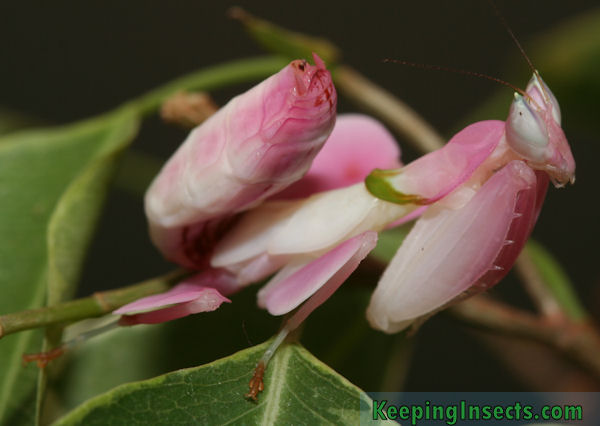 Orchid Mantis – Keeping Insects