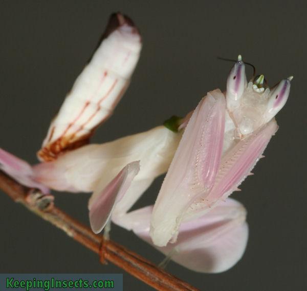 BBC Nature  Praying mantis videos news and facts