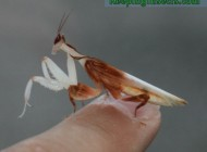 Adult male Orchid Mantis