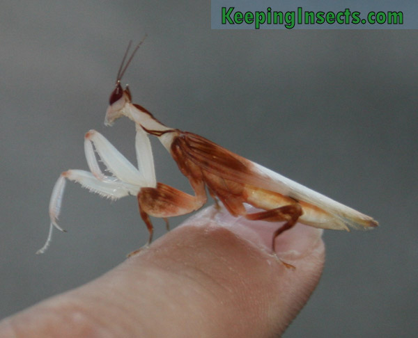 Determining the sex of your praying mantis | Keeping Insects