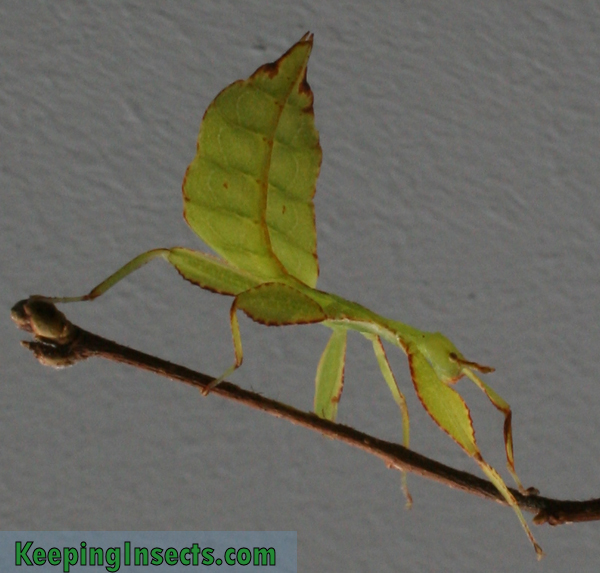 Green Leaf Bug Eat Leaf Insect Phyllium Philippinicum Keeping Insects