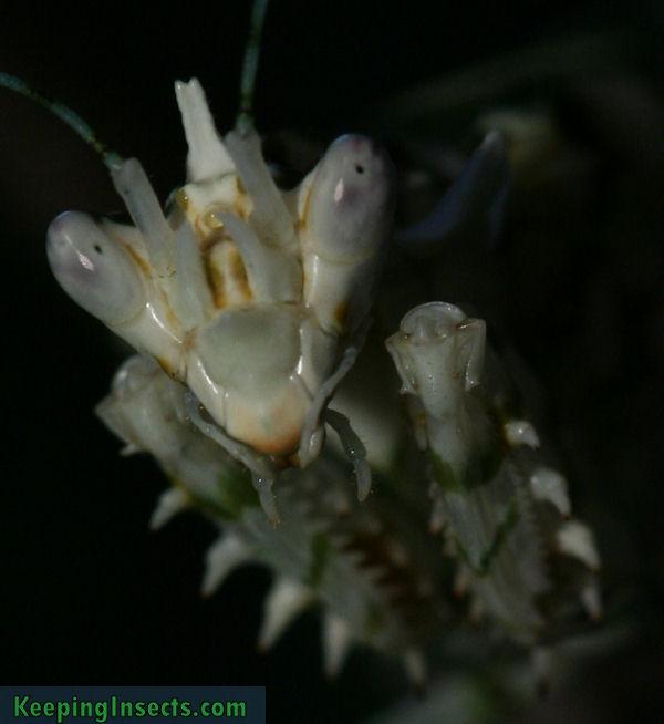 pseudocreobotrawahlbergii3