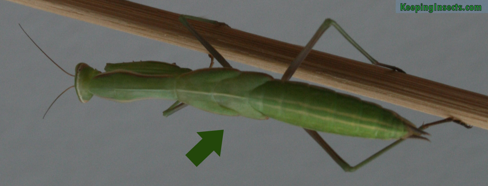 FAQ about praying mantises | Keeping Insects