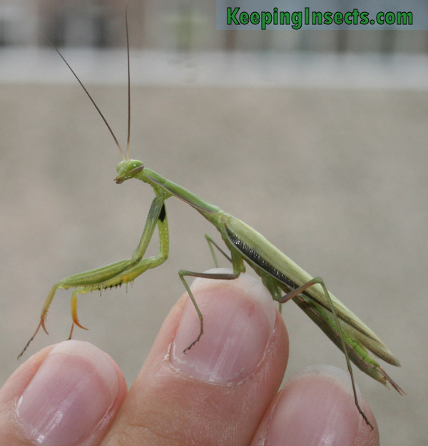 european-mantis-male4