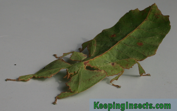 Giant Leaf Insect Phyllium giganteum | Keeping Insects