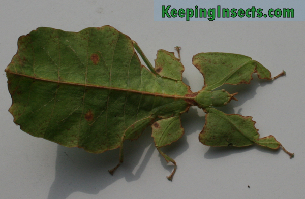 What bug looks like a leaf 11