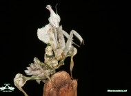 female-devils-flower-mantis-keepinginsectscom2