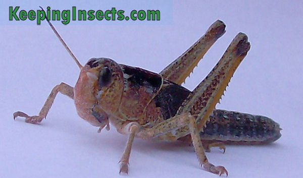 Buy live grasshoppers