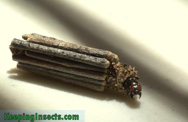 case-moth-larva-south-africa