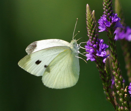 cabbage-white