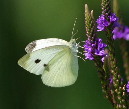 cabbage-white