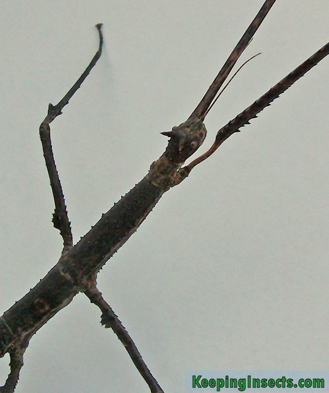 Annam Stick Insect - Medauroidea extradentata | Keeping Insects