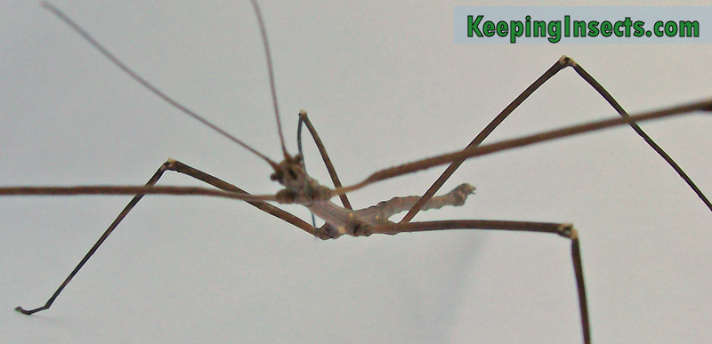 Annam Stick Insect Medauroidea Extradentata Keeping Insects