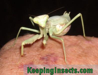 Carolina Mantis Keeping Insects