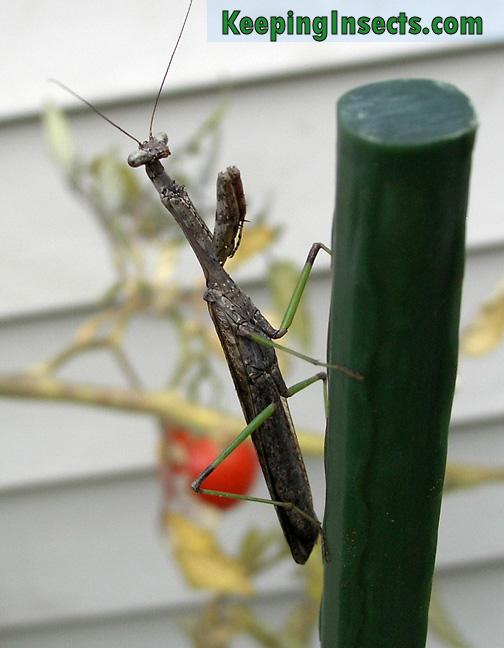 Carolina Mantis Praying Mantis Keeping Insects