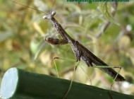 Carolina Mantis adult male