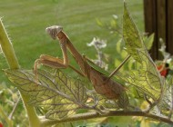 chinese-mantis-female