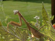 chinese-mantis-female2