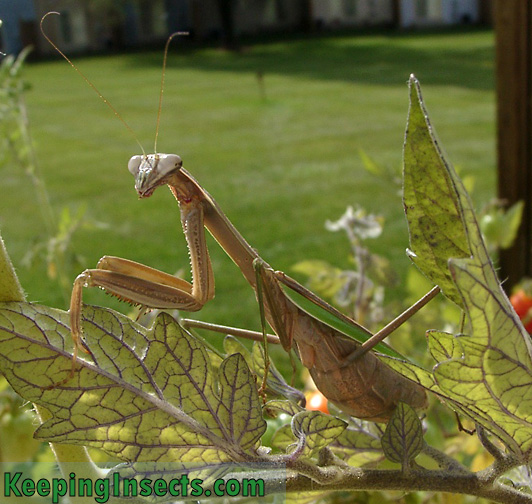 New mantis species added to this website | Keeping Insects