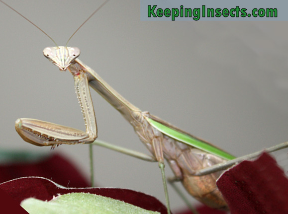 chinese-mantis-female4