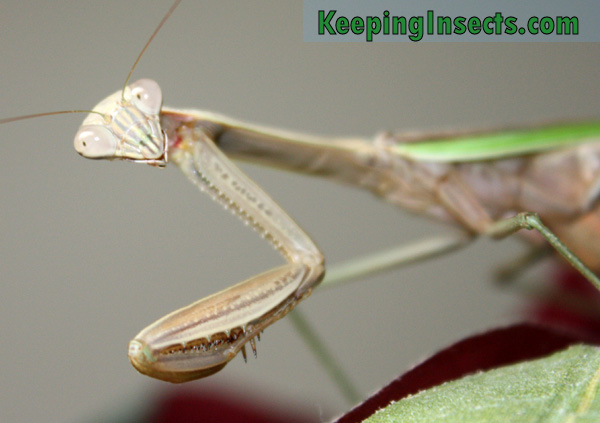 Chinese Mantis praying mantis | Keeping Insects