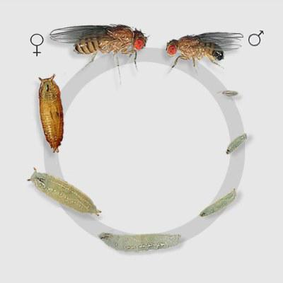 fruit-fly-development