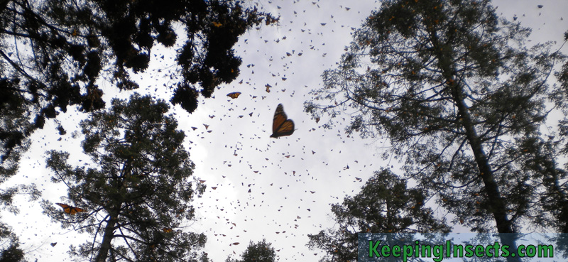 monarch-butterfly-mexico2