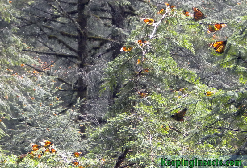monarch-butterfly-mexico4