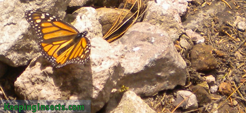 monarch-butterfly-mexico6