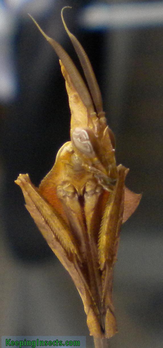 Wanderling Violin mantis subadult male