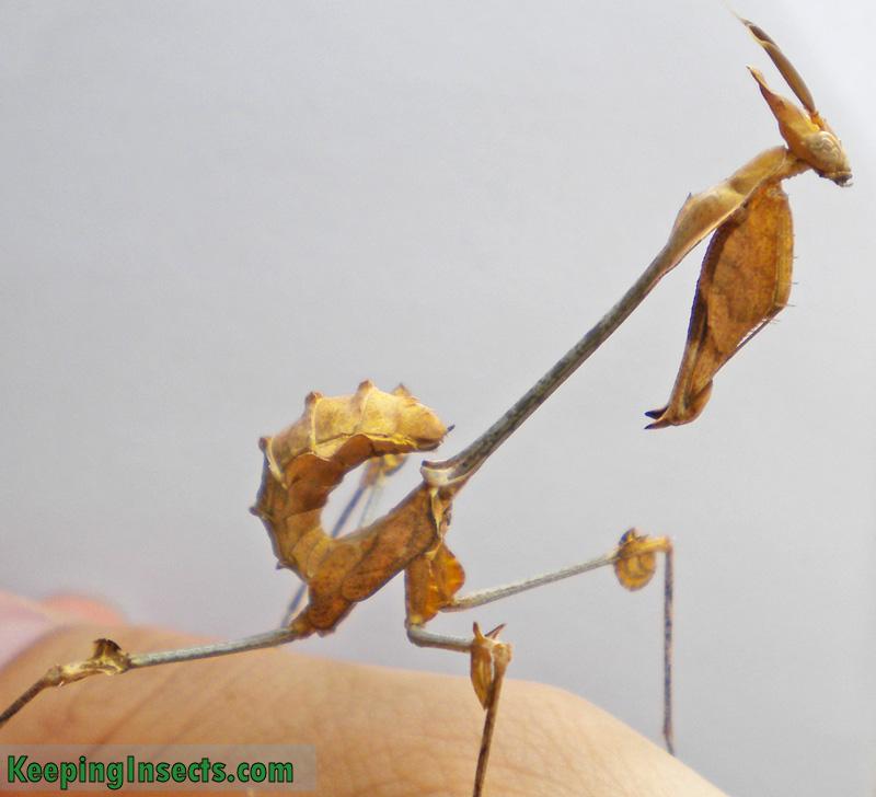 Subadult male Wandering Violin Mantis