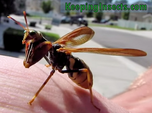 Hornet Vs Praying Mantis Is it a wasp? I...